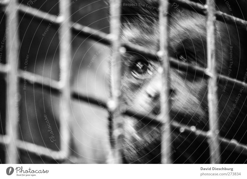 Will you take me with you? Animal Wild animal Animal face Pelt Zoo 1 Monkeys Grating Captured Enclosed Sadness Eyes Compassion Black & white photo Exterior shot