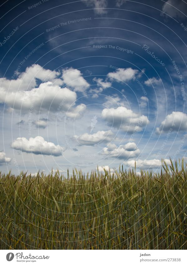 cloudy. Harmonious Relaxation Environment Nature Landscape Sky Clouds Spring Beautiful weather Plant Agricultural crop Grain Grain field Field Infinity Blue