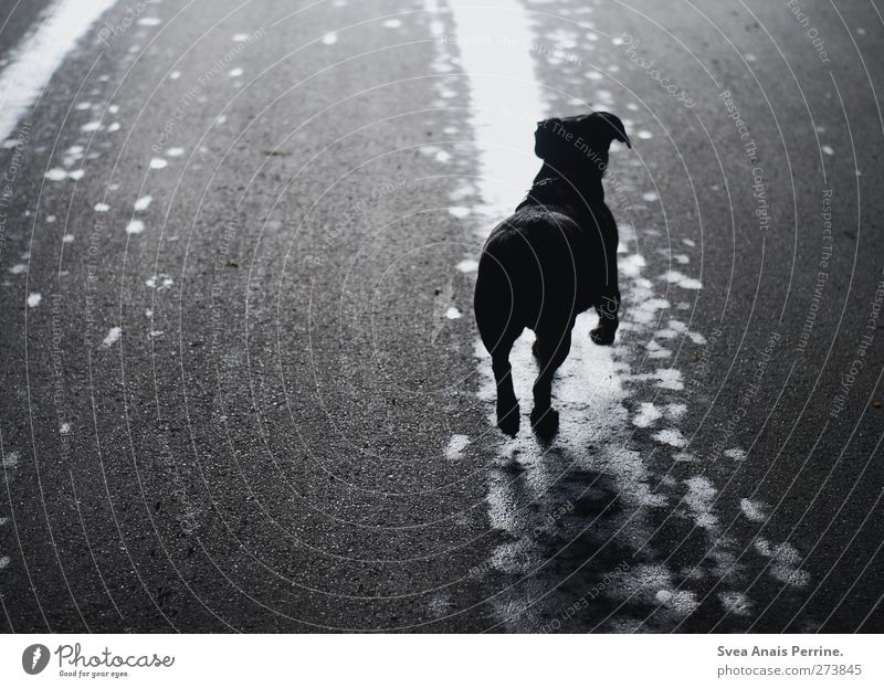 Dog Animal Street Jump Wet Asphalt Pet Puddle