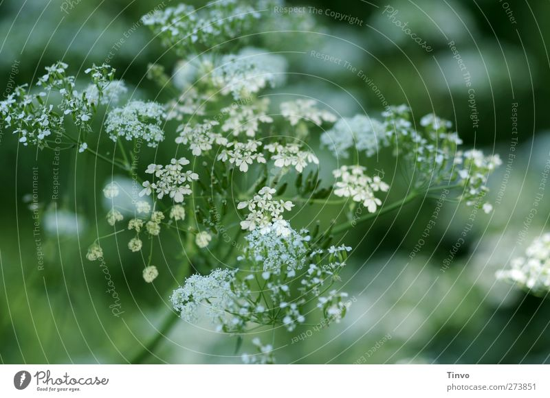 Yarrow 3 Spring Plant Blossom Foliage plant Agricultural crop Wild plant Green White Nature Common Yarrow Flowering plant Herbacious Medicinal plant Blossoming