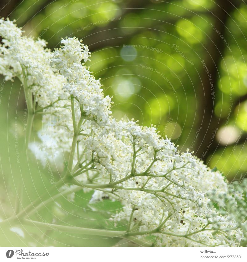 elder bush Nature Plant bushes bleed Elder elderberry blossoms green White Colour photo Exterior shot Deserted Shallow depth of field