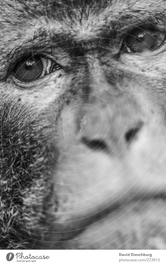 Close to tears Animal Wild animal Animal face Pelt Zoo 1 Compassion Sadness Longing Monkeys Nose Eyes Muzzle Tears Captured Black & white photo Close-up Detail