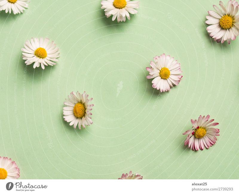Daisies pattern Beautiful Summer Decoration Nature Plant Spring Flower Grass Blossom Fresh Natural Yellow Green White background Beauty Photography composition