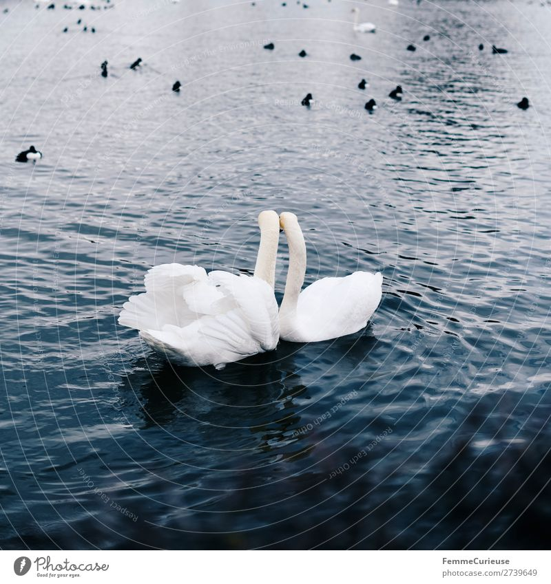 2 loving looking swans in pond Animal Nature Swan Bird Duck birds Pond Water Love Infatuation Feather Metal coil White Float in the water Colour photo