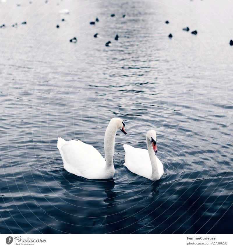 Two swans in a pond Animal Nature Swan Pond Lake 2 Water Colour photo Exterior shot Copy Space bottom Day Central perspective