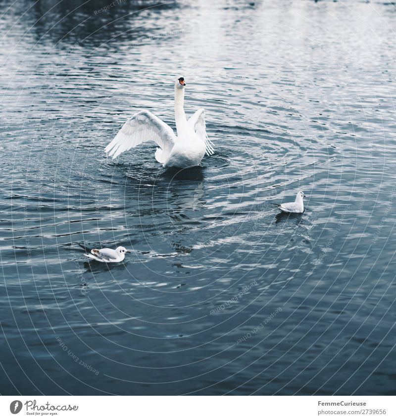 A swan in a pond flapping its wings Nature Animal Swan Feather White Pond Lake Float in the water Bird Colour photo Exterior shot Copy Space bottom