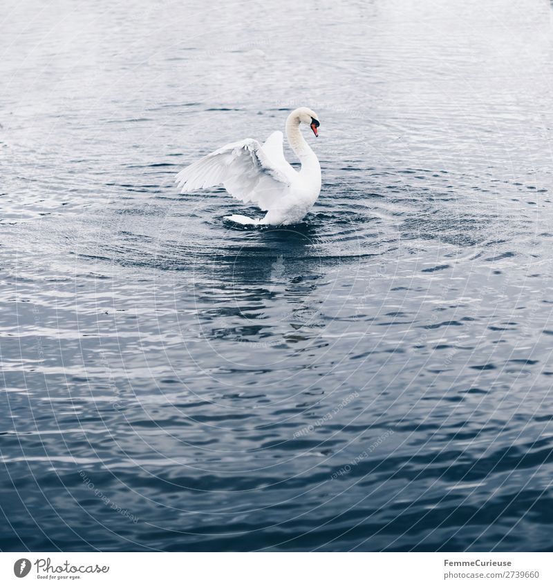 A swan in a pond flapping its wings Nature Animal Swan Bird Pond Lake Float in the water Feather White Water Graceful Colour photo Exterior shot