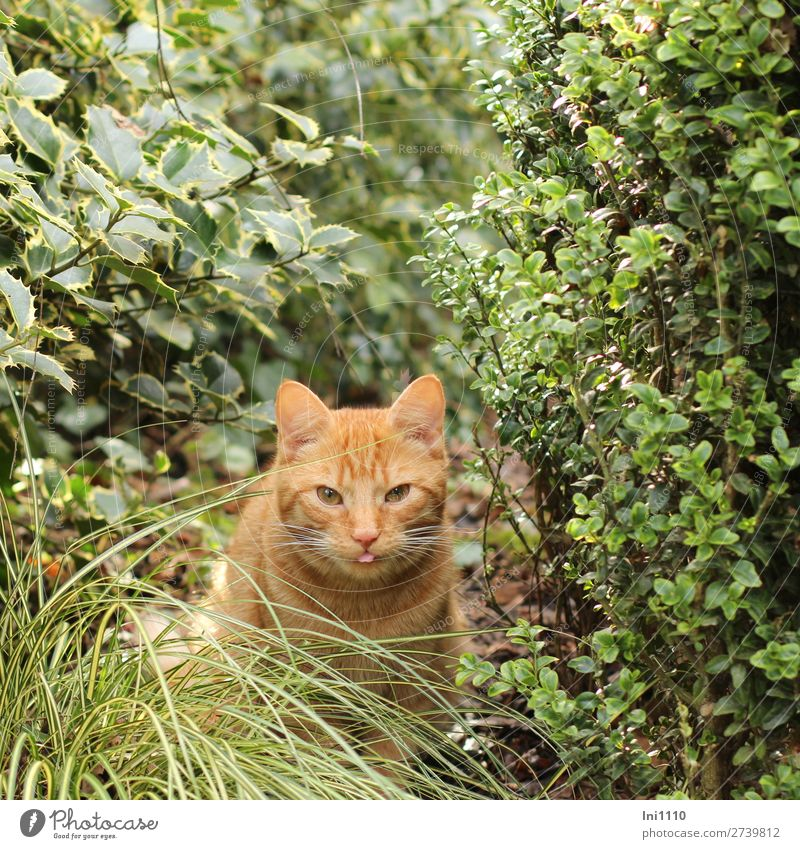 hangover Plant Bushes Box tree Ilex Grass Garden Pet Cat 1 Animal Brown Yellow Green Pink White Domestic cat Red-haired Cat's tongue Slitted eyes Whisker Pelt