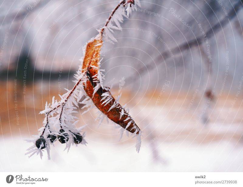 Ice on a stick Environment Nature Plant Winter Frost Snow Tree Twig Thin Authentic Fresh Cold Natural Point Thorny Ice crystal Hoar frost Colour photo