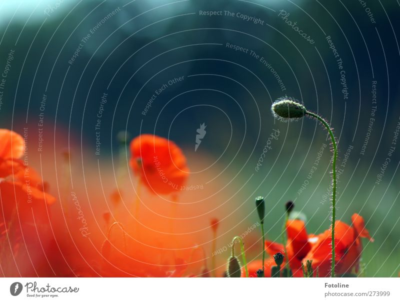 A dream of red Environment Nature Plant Summer Flower Blossom Garden Park Field Natural Beautiful Warmth Green Red Poppy Poppy blossom Poppy field Poppy capsule
