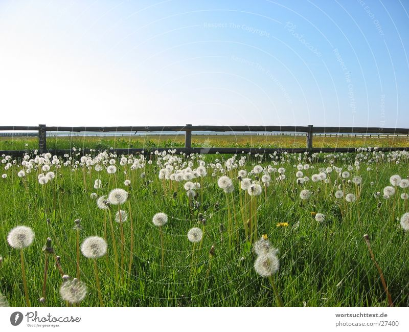 Dandelion on the meadow Flower Meadow Grass Fence Green Field Garden Graffiti Blue sky Landscape Nature