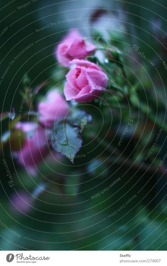 is a rose pink Elegant Garden rose Rose blossom fragrant Decent Exceptional Dark green blooming rose Rose leaves Rose garden Pink fragrances Uniqueness