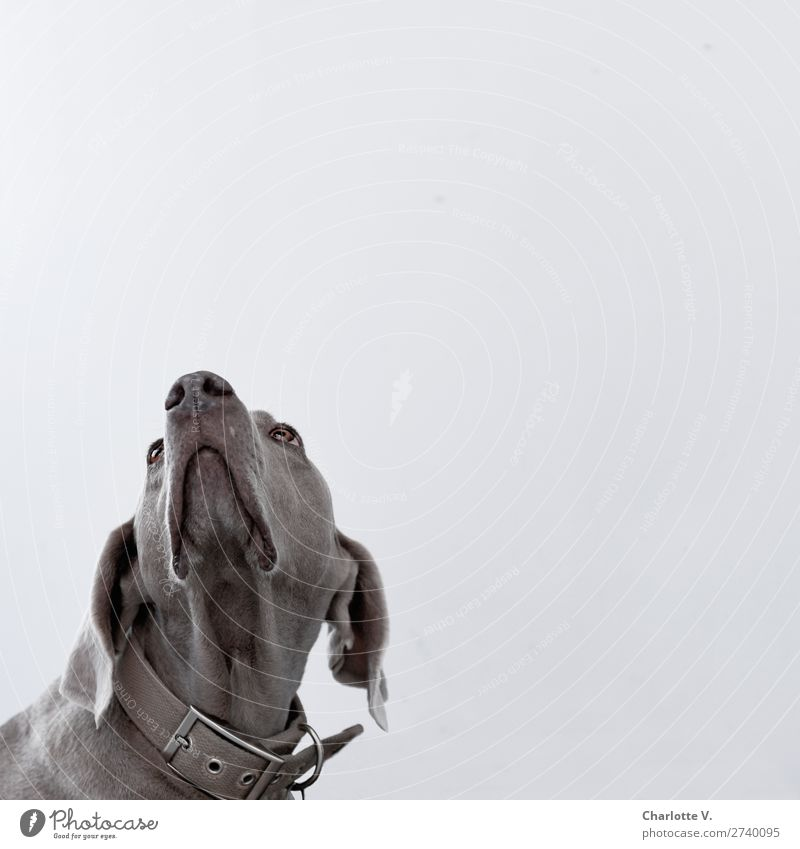 Where's my bedtime candy? Animal Pet Dog 1 Observe Think Looking Wait Simple Elegant Natural Clean Beautiful Gray Emotions Cool (slang) Loyal Watchfulness