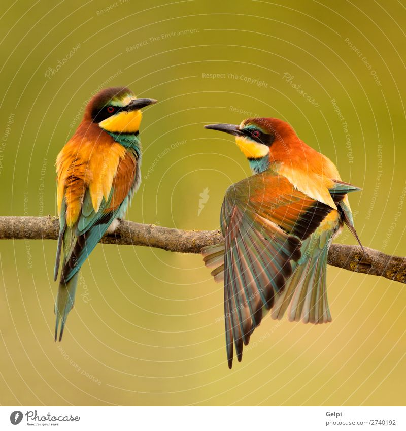 Pair of bee-eaters perched on a branch. Eating Beautiful Couple Environment Nature Animal Bird Bee Love Wild Blue Green Black White Colour wildlife colorful