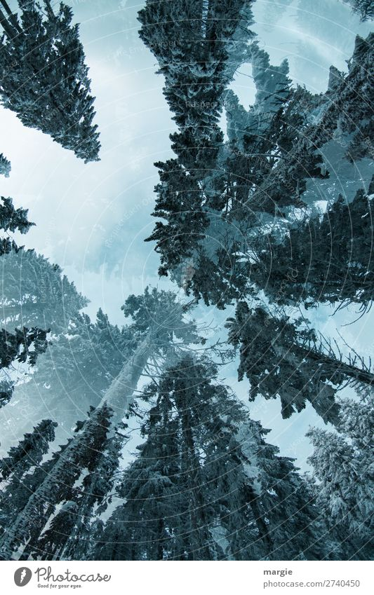 Skywards Environment Nature Winter Climate Ice Frost Snow Tree Forest Blue Green White Sustainability Environmental protection Infinity Treetop Large Giant tree