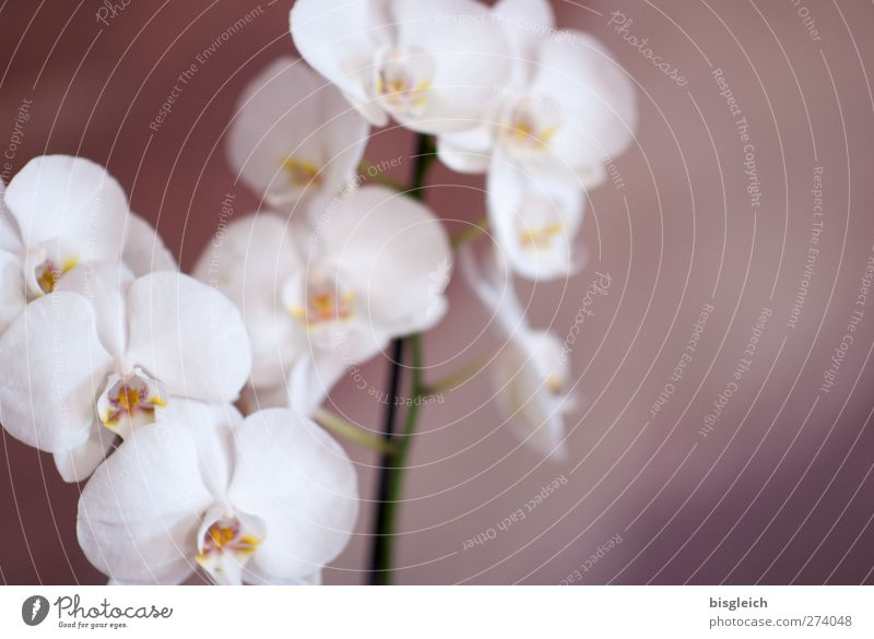 orchid Zoo Plant Flower Orchid Blossom Pot plant Blossoming Brown White Intuition Emotions Romance Colour photo Subdued colour Interior shot Deserted