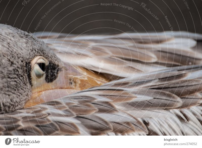 Moment II Zoo Animal Bird Animal face Wing Feather Pelican Eyes 1 Brown White Attentive Watchfulness Serene Patient Calm Colour photo Subdued colour
