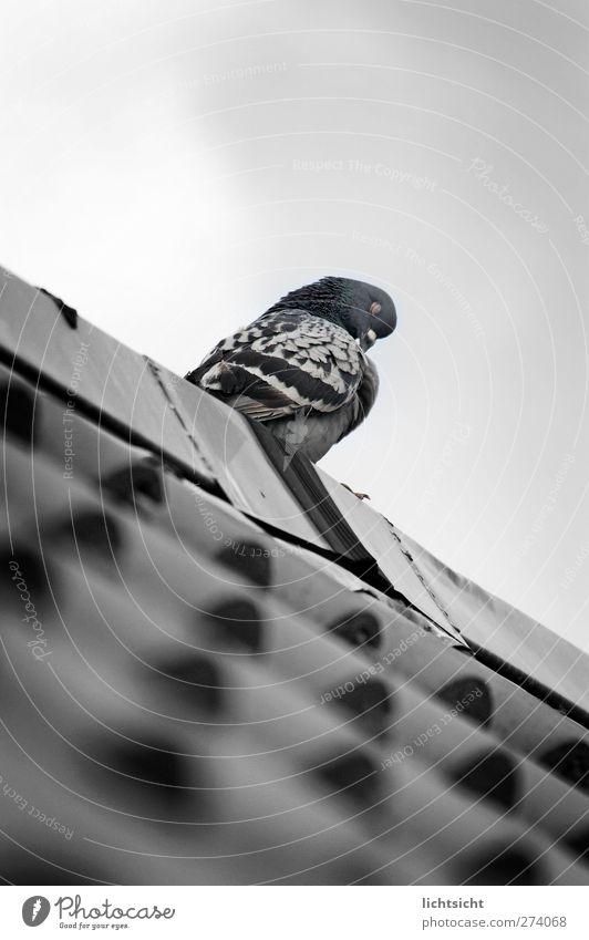 Sky Blue Animal Gray Bird Sleep Feather Roof Cleaning Personal hygiene Pigeon Beak Siesta Roofing tile Siesta Slate blue