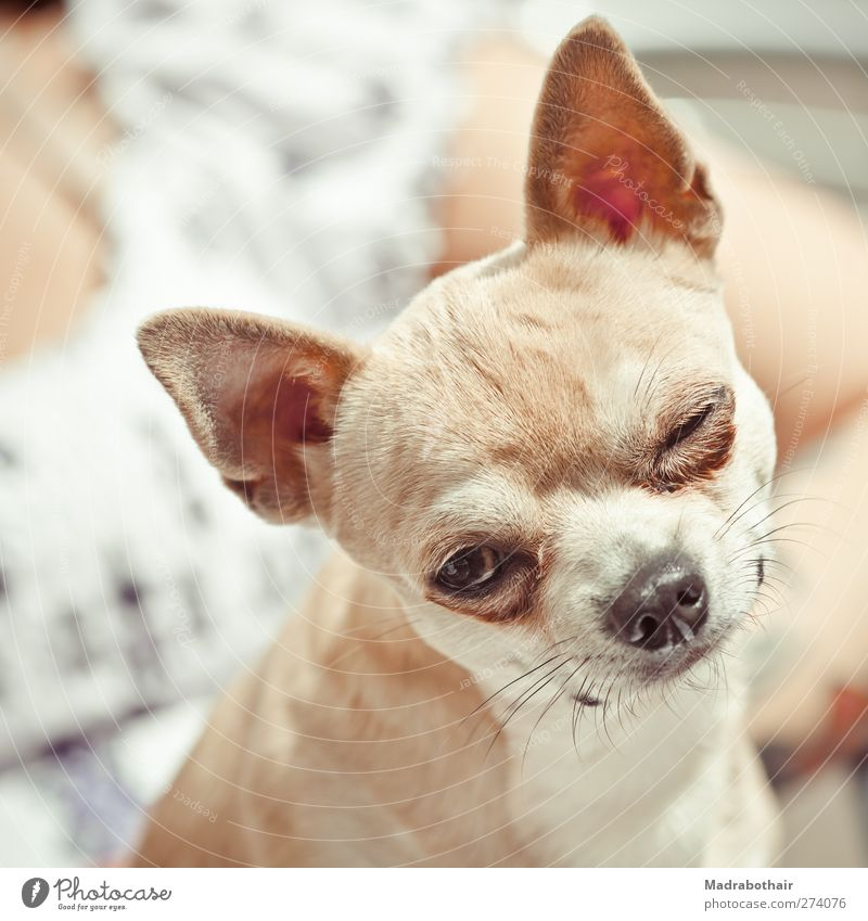 winking Animal Pet Dog Animal face Chihuahua lapdog 1 Looking Small Funny Cute Joy Love of animals Curiosity Frontal Front view Tilt Colour photo Subdued colour