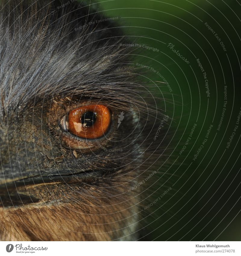 silent observer Head Eyes Zoo Bird 1 Animal Observe Looking Threat Brown Yellow Orange Red Emu Beak Feather Pupil Iris Colour photo Exterior shot Close-up