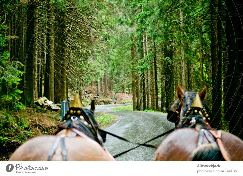 High on the... Nature Summer Tree Animal Farm animal Horse 2 Movement Endurance Adventure Tourism Spruce forest Forest Horse and cart Horse-drawn carriage Harz
