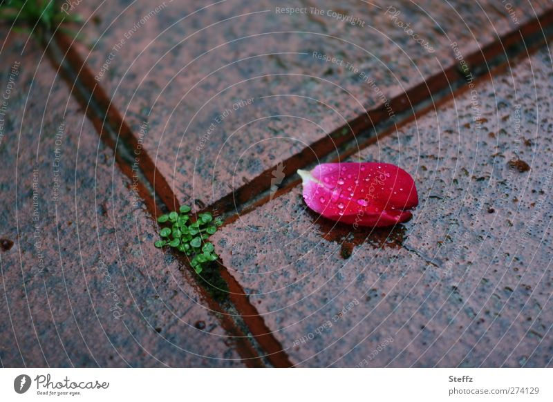 Nature Beautiful Loneliness Sadness Death Line Pink Rain Drops of water Wet Transience Romance Change Rose Derelict Decline
