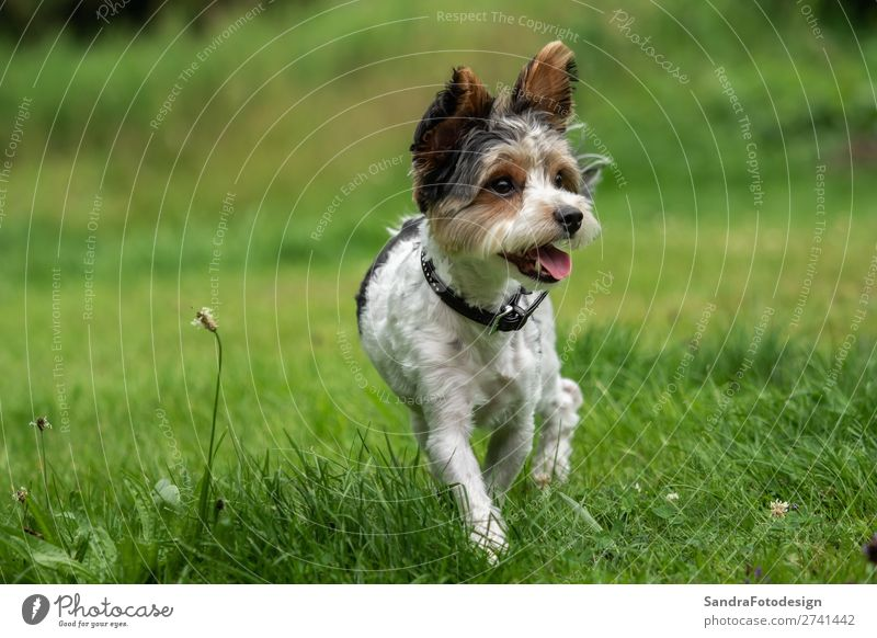 A little terrier with short hair out in the meadow Animal Dog 1 Love Love of animals adorable adorable animal Animal Themes beautiful breed canine cute