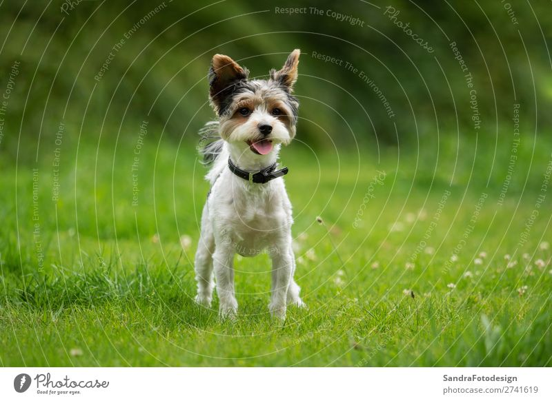 A little terrier with short hair out in the meadow Dog Love of animals adorable adorable animal Animal Themes beautiful breed canine cute dog school domestic
