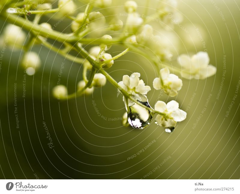 good journey Nature Water Drops of water Spring Summer Blossom Wild plant Blossoming Fragrance Bright Beautiful Elder Elderflower Dew Colour photo