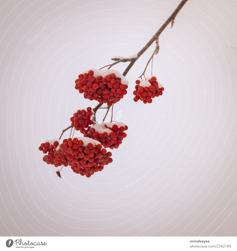 Common snowball in the snow Nature Winter Snow Plant Bushes Guelder rose Relaxation Freeze Dream Bright Cold Red White Bravery Resolve Hope Planning Survive