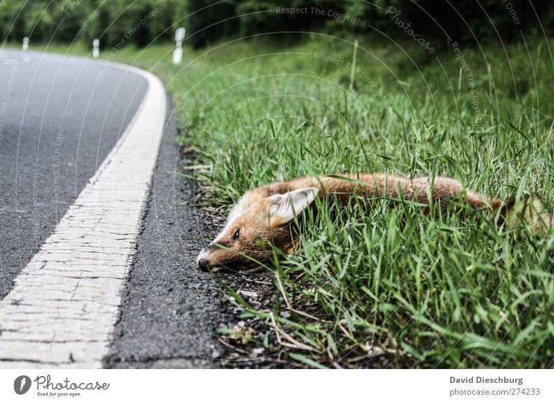What did he do to you...? Nature Summer Grass Street Animal Wild animal Dead animal 1 Green Fox Line Lie Red fox Traffic lane run sb./sth. over Accident