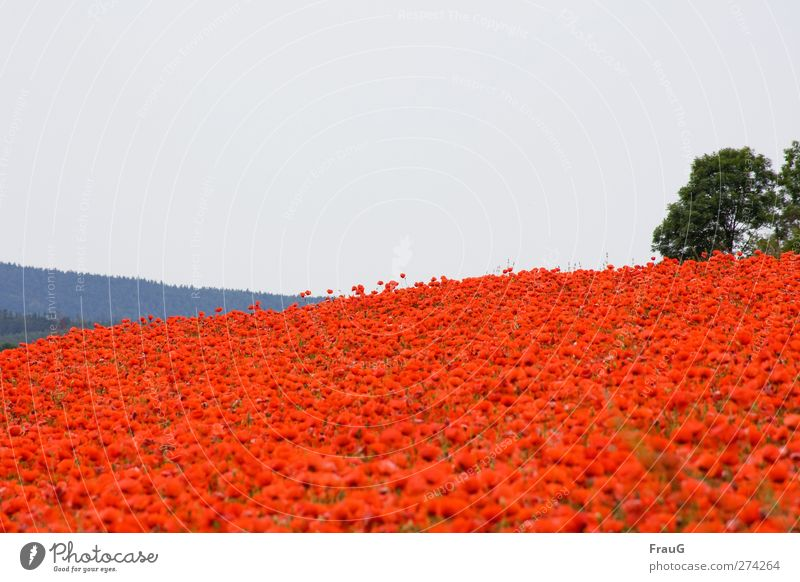 Moooohn...! Nature Landscape Sky Spring Plant Bushes Poppy Corn poppy Field Hill Blossoming Illuminate Exceptional Fresh Blue Gray Green Red Spring fever