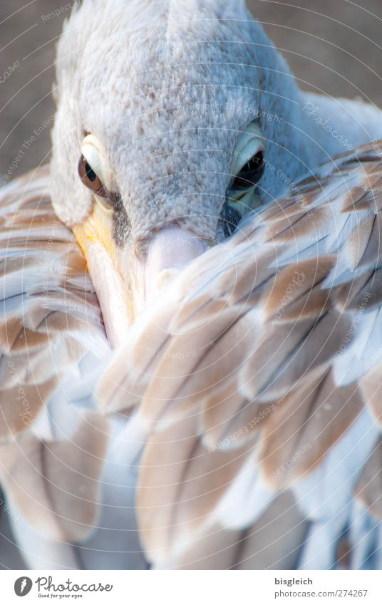 Moment III Zoo Animal Bird Animal face Wing Pelican Eyes Feather Beak 1 Looking Wait Brown White Attentive Watchfulness Serene Calm Colour photo Subdued colour