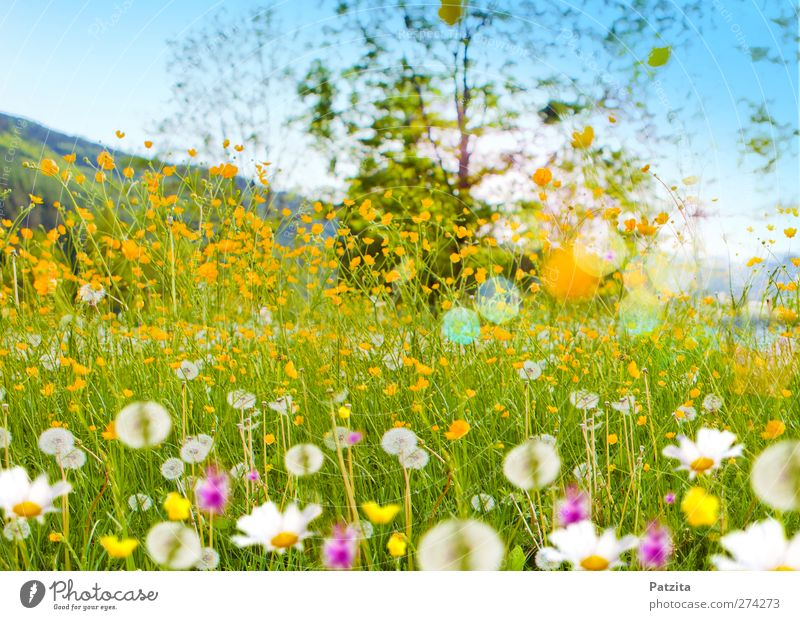 flower meadow Flower meadow Meadow flower Marguerite Dandelion Summer Spring Green Nature Landscape Back-light Patch of light Spring fever Deserted