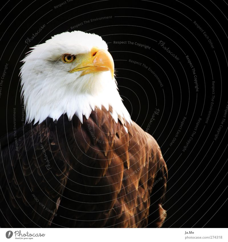Proud Eagle Animal Wild animal Bird Animal face Bald eagle Beak Feather 1 Pride Colour photo Multicoloured Exterior shot Detail Day Central perspective