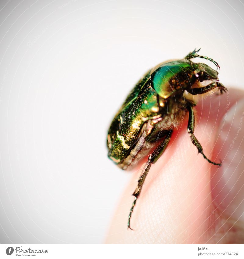 Green Animal Gold Wild animal Insect Beetle Leg of a beetle Rose beetle