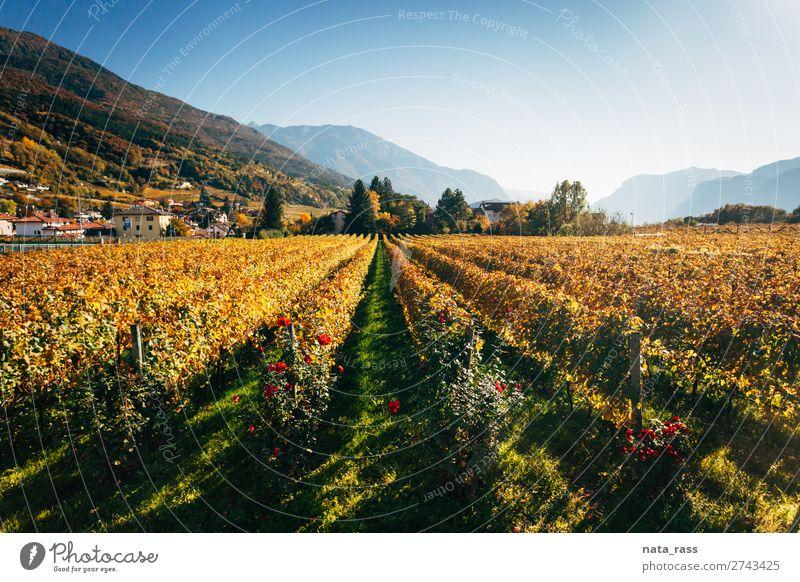 Vineyards in Trento in autumn Vacation & Travel Mountain Landscape Autumn Alps Village Town Yellow wineyard Autumnal rows trentino South Tyrol Italy Italian