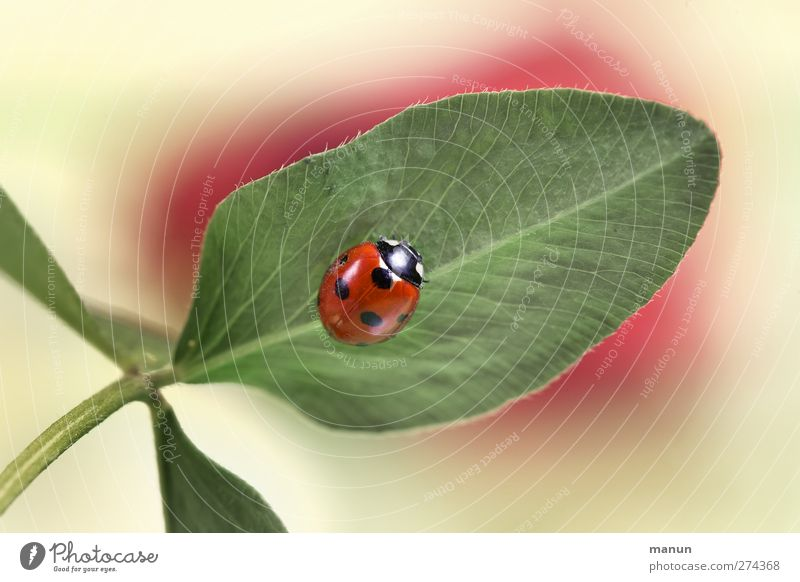 spot landing Nature Leaf Cloverleaf Animal Wild animal Beetle Ladybird Sign Good luck charm Authentic Natural Happy Colour photo Deserted Central perspective