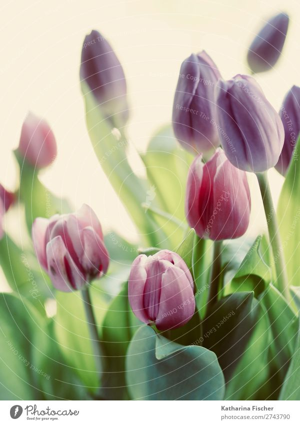 Tulip bouquet flowers Plant Leaf Blossom Blossoming Illuminate Blue Green Violet Pink Red Turquoise Beautiful Bouquet Nostalgia Colour photo Exterior shot