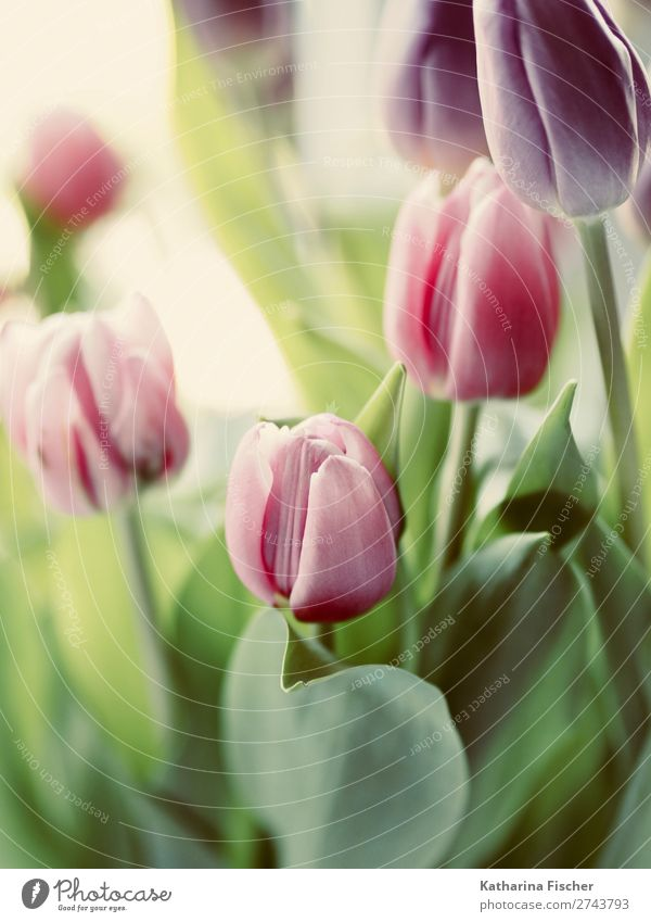 Nature Plant Blue Green Red Leaf Blossom Pink Illuminate Growth Blossoming Violet Bouquet Turquoise Tulip
