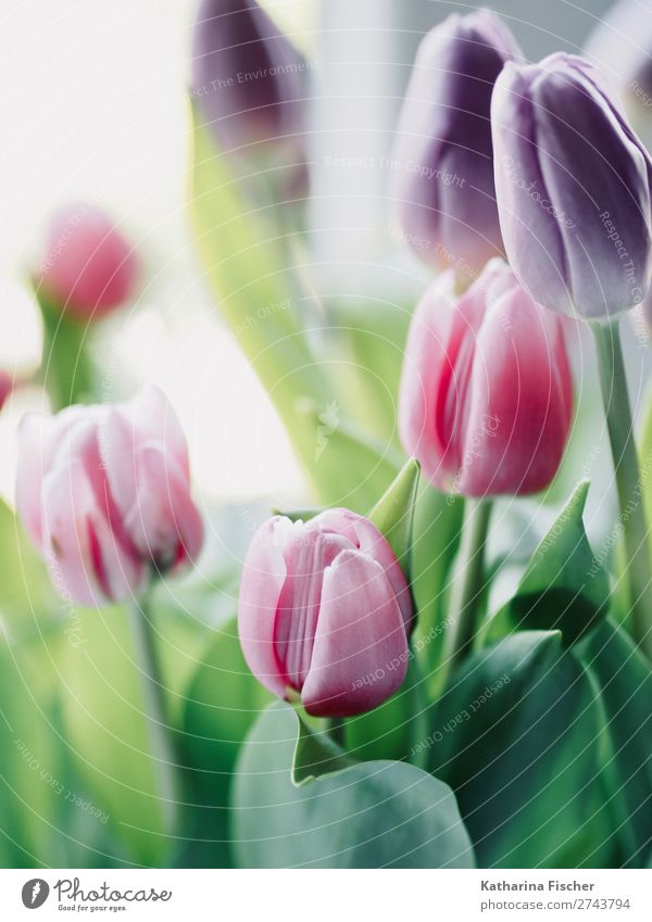 Tulips Tulips Tulips Tulips Work of art Painting and drawing (object) Nature Plant Leaf Blossom Decoration Bouquet Blossoming Illuminate Faded Green Violet Pink