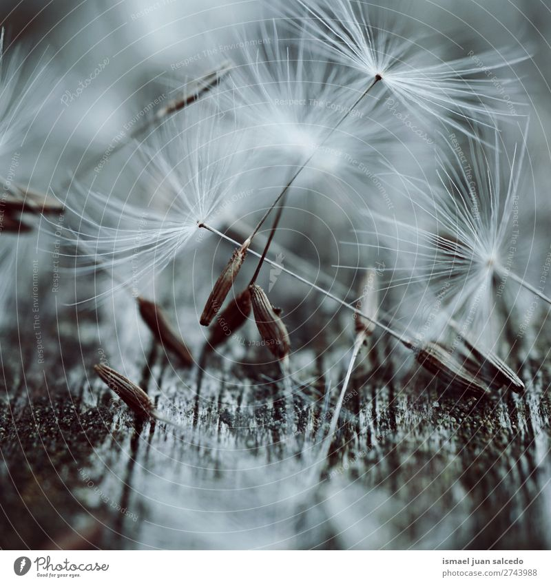 dandelion flowers seed Dandelion Flower Plant Floral Garden Nature Decoration Abstract Consistency Soft Exterior shot background romantic fragility