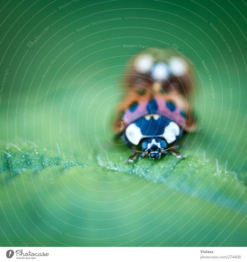 Animal Love Natural Pair of animals Point Beetle Ladybird