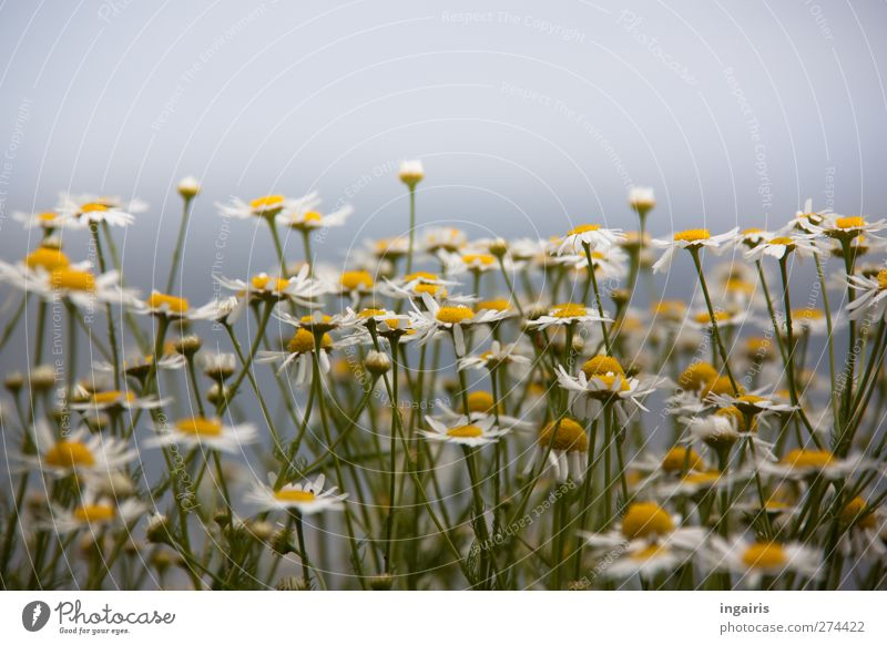 little flowers Herbs and spices Tea Environment Nature Plant Sky Summer Flower Blossom Wild plant Camomile blossom Chamomile Meadow flower Field Blossoming