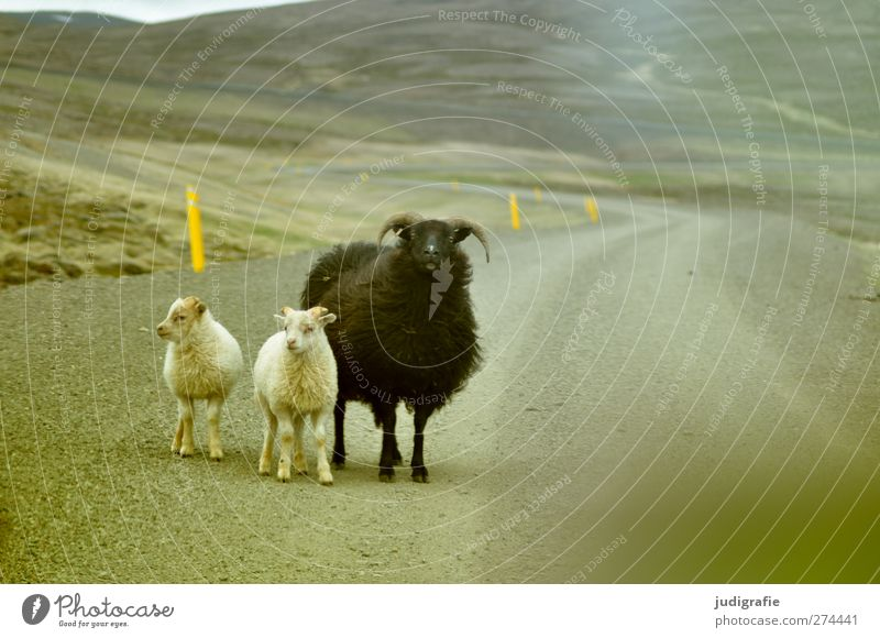 Iceland Nature Landscape Street Lanes & trails Animal Farm animal Sheep Lamb 3 Group of animals Animal family Wait Small Natural Cute Life Colour photo
