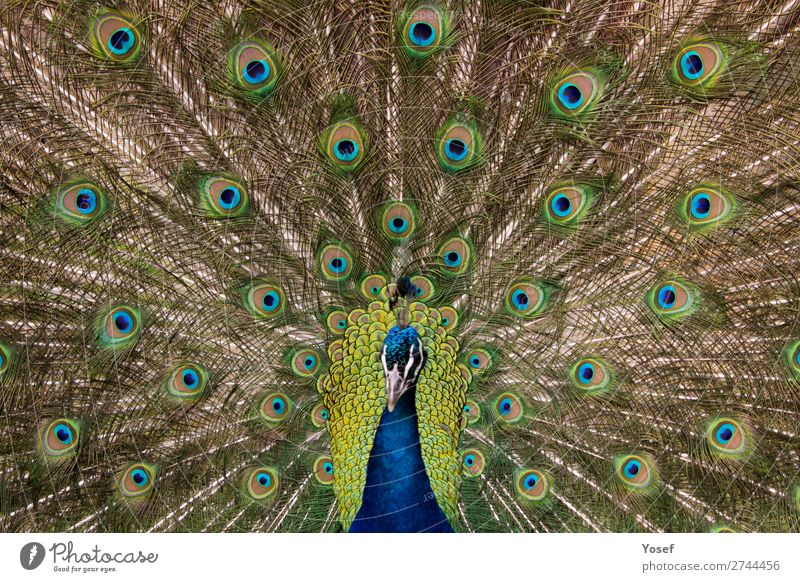 Peacock bird with the featehers out and open (Head out of Focus) Animals Birds Nature Open Peacock Spring Wildlife Zoo natural feathers beutiful background blue