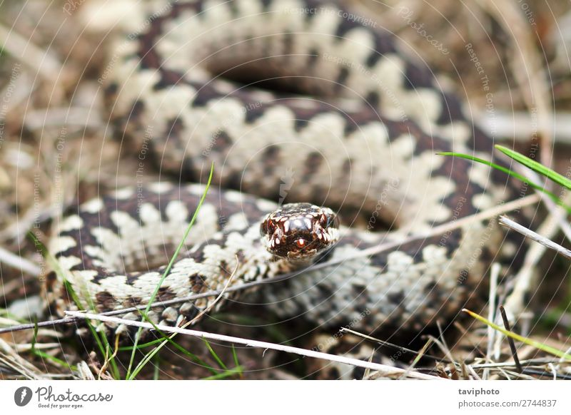 aggressive common european viper Nature Animal Wild animal Snake Aggression Large Brown Black Fear Dangerous poisonous European ready to bite Poison Viper adder