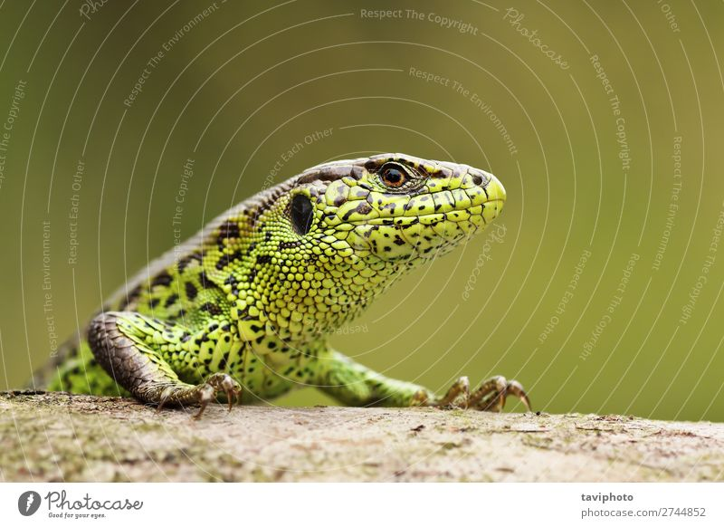 closeup of colorful male sand lizard Beautiful Skin Garden Man Adults Environment Nature Animal Sand Small Natural Wild Brown Green Colour wildlife Reptiles