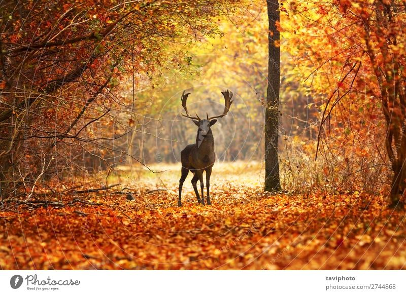 fallow deer stag in beautiful autumn forest Beautiful Playing Man Adults Nature Landscape Animal Autumn Tree Forest Natural Wild Brown Red Colour Deer wildlife