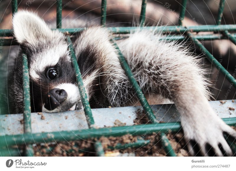 Give it to me! Fence Grating Animal Wild animal Animal face Pelt Claw Paw Raccoon 1 Catch To hold on Hunting Fantastic Brash Cuddly Cute Rebellious Curiosity